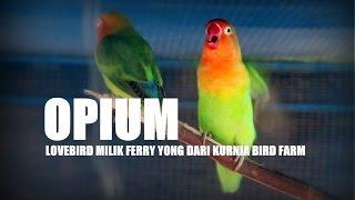 SUARA BURUNG : Love Bird Opium Milik Ferry Yong Ngekek Panjang Juara Nasional