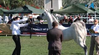 Download Video الخيول الإماراتية الأصيلة.. هي الأجمل في العالم MP3 3GP MP4