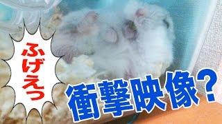 【爆笑】まるでオジサン 寝たままエサを反芻する行雄 White Hamster Ruminant while sleeping thumbnail