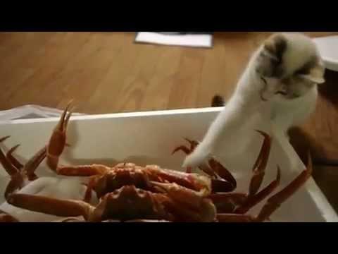 Gato Conociendo a Un Cangrejo ★ humor gatos   video divertido gatos chistosos risa gatocomiendo cent