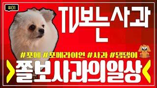 [#1]사과vlog TV(동물농장)시청하는 댕댕이포메