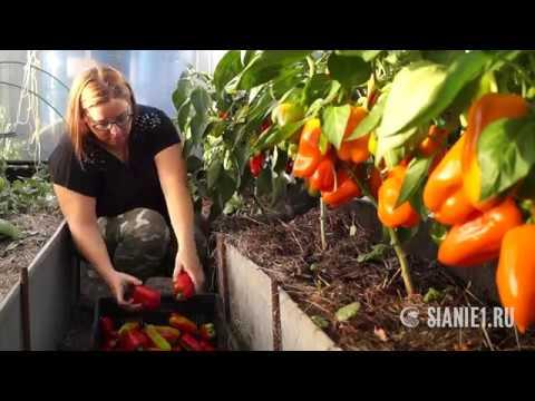 Сбор урожая перцев 2018