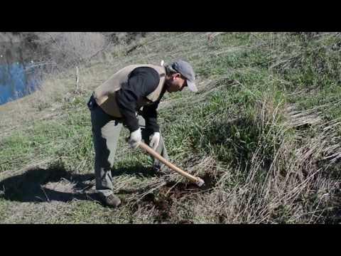 Planting Ponderosa Pines