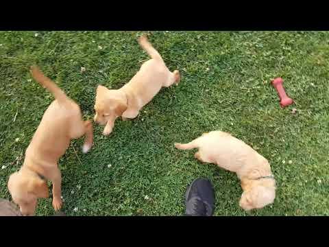 PuppyFinder.com : Labradoodle