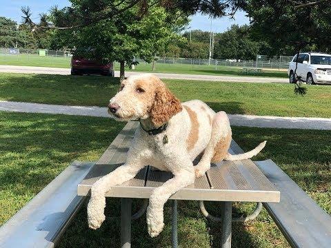 Zoi 2 YO Doodle - Dog Training Omaha Nebraska, Off Leash Dog Training