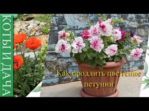 Вопрос: Как правильно удалить отцветшие цветки у петуний?