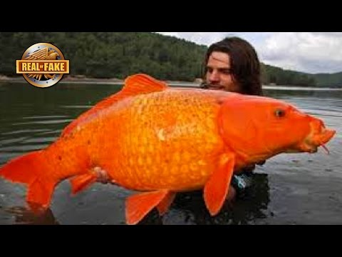 GIANT GOLDFISH - Real Or Fake?