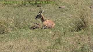 Thomson Gazelle new born fawn tries to walk