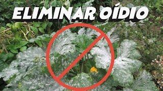 Cómo Eliminar el Hongo Oídio || Fungicida ecológico || Cultivo paso a paso