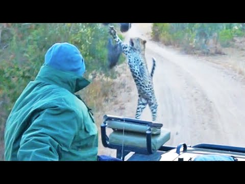 Surprise Leopard Hunt in Front of Safari Vehicle Caught on Camera