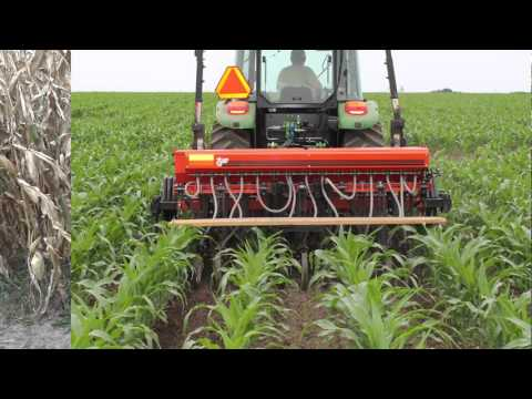 Interseeding cover crops into corn in Wisconsin: Can it work?