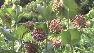Minnesota Native Plant - Common Milkweed (Asclepias Syriaca)