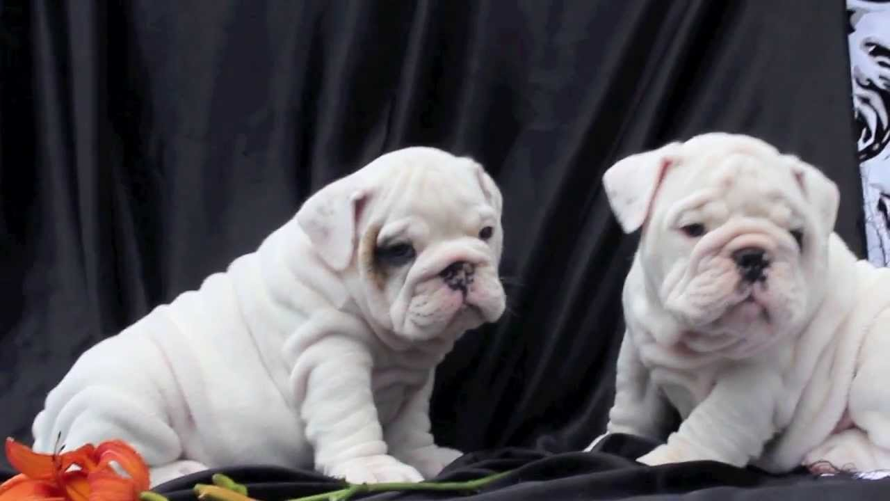 White English Bulldog Puppies For Sale Youtube