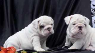 White English Bulldog Puppies For Sale
