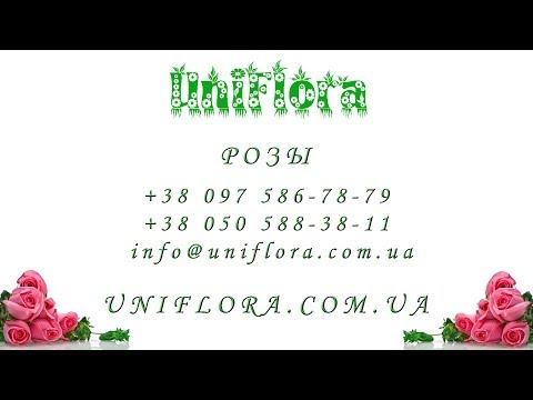 Купить белые, красные, синие, желтые, розовые розы в Киеве