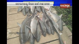 Shark fish rescue in Gahirmatha