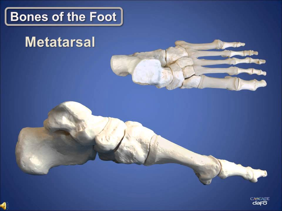 Anatomy Review | Bones of the Foot | Cascade Dafo - YouTube