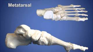 Anatomy Review: Bones of the Foot