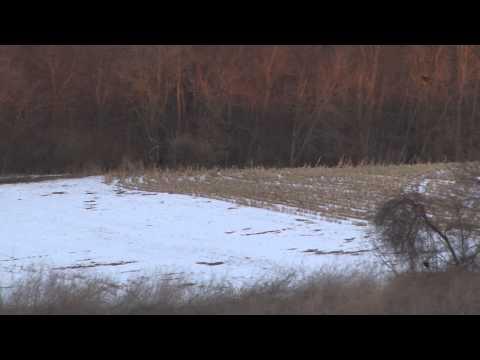 Wisconsin Coyote Hunt- Heartland Pursuit