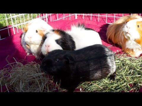 Bonding Guinea Pigs (Herd)