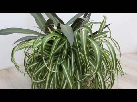 Рео (Традесканция разноцветная) и хлорофитум хохлатый.Tradescantia spathacea, Chlorophytum comosum