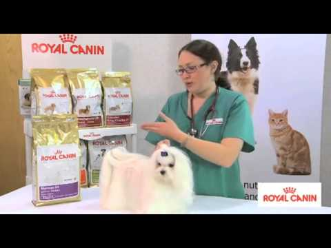Maltese Breed health nutrition - Royal Canin | MedicAnimal UK