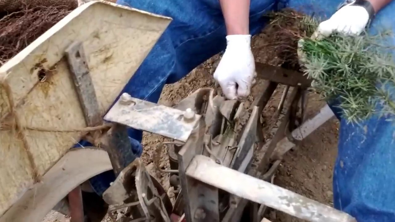Christmas Tree Seedling Planting - YouTube