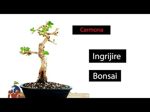 Ingrijire Bonsai Carmona
