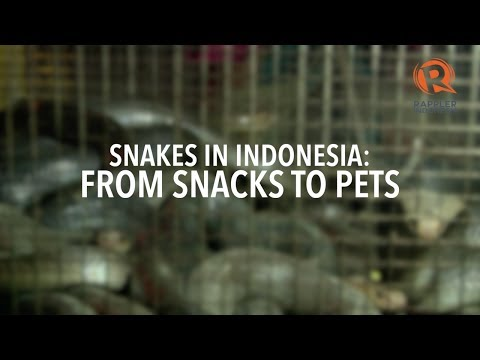 In Indonesia, snakes are snacks, pets, masseuses