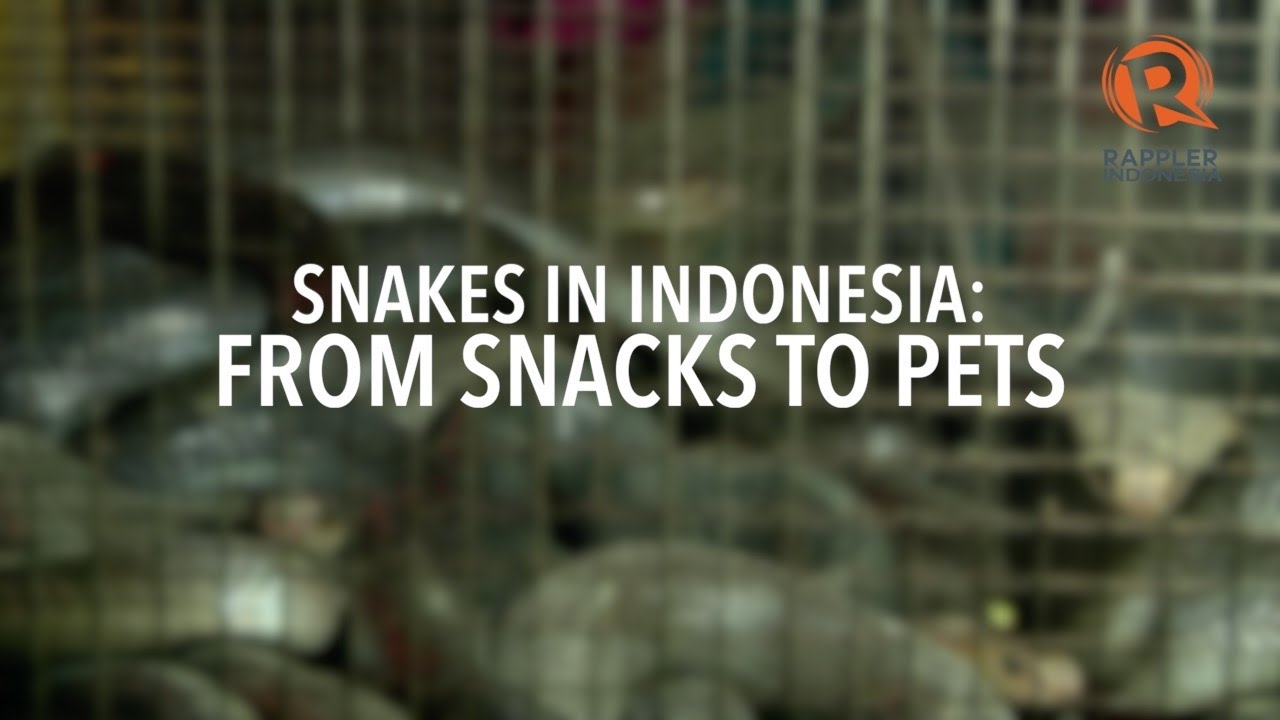In Indonesia, snakes are snacks but also pets, performers
