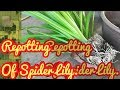 REPOTTING OF SPIDER LILY, Plants in Grow Bags, Chilli plant, Chitrak plant