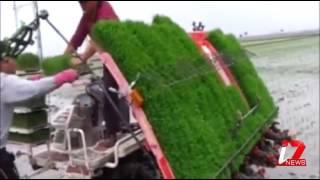 Dhan ki ropai karne Ki Maseen  Rice crop planted by machine