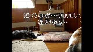 妹家のシュナウザー犬のドッピーを連休の3日間預かることに~ 久しぶり...