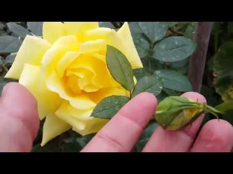 Landora - Sumblest / Tantau 1970 Rosa - Rose - Rosier