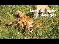 Løvekillinger i anlægget