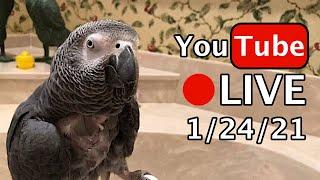 🔴🐦Einstein Parrot LIVE! 1/24/21