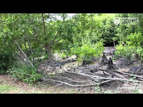 Faune anfibie di mangrovieti e piane fangose malesi (with English subtitles)