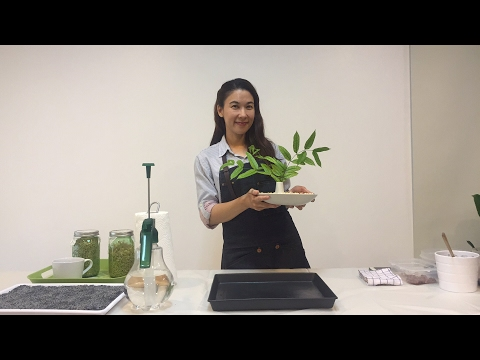 "Urban Farming : Microgreen : วิธีปลูก ""วีทกราส"" ต้นอ่อนข้าวสาลี ไว้คั้นน้ำทานเองในบ้าน ( ไม่ใช้ดิน)"