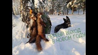 Охота с лайкой на куницу... Первый выход в новом году...