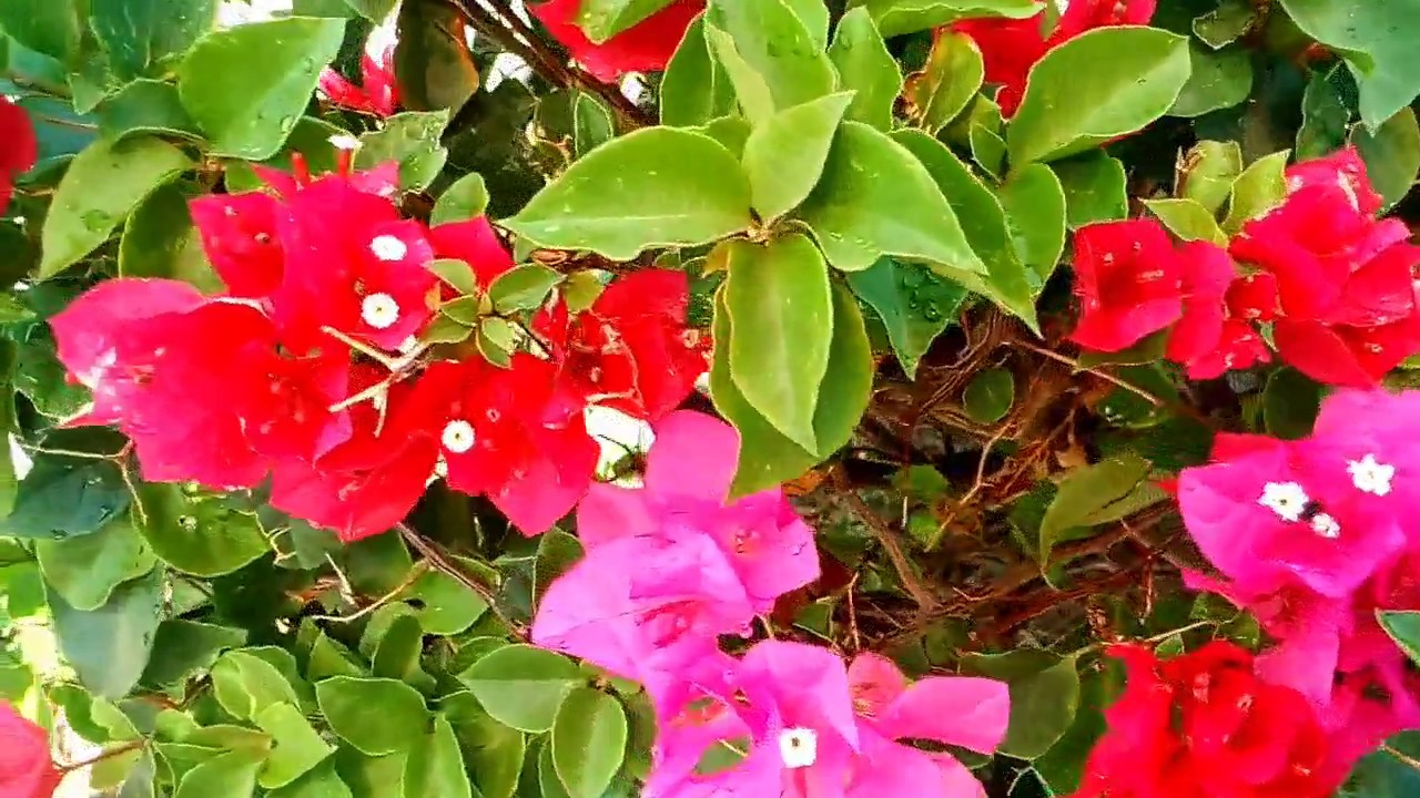 Plantas flores de color rosa youtube for Plantas ornamentales rosas