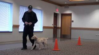 Ted (labrador Retriever) Puppy Camp Dog Training