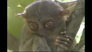 tarzier monkey worlds smallest primate at bohol island in the philippines