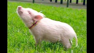 Mini Pigs, ¿por qué se han convertido en la mascota perfecta de muchos?   Noticias Caracol