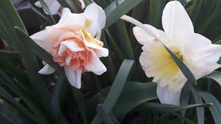 Обзор моего участка,нарцыcсы,тюльпаны,розы,клематисы,туи,пионы  и т.д