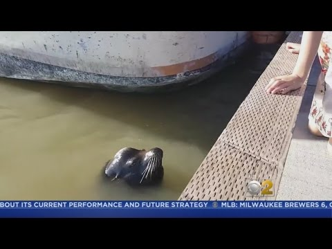 Sea Lion Snatches Girl, Pulls Her Into Water