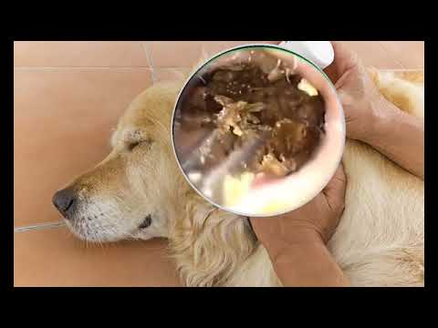 Ear Wax Removal dog and Raining Sound - YouTube