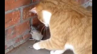 Real (Tom & Jerry) Cats and Mouses- Funny Videos