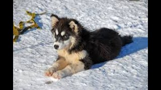 #109 FINNISH LAPPHUND 2/2  | Which Dog Should I Get? Dog Breed Selector