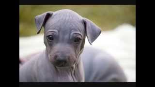 Все породы собак.Американский голый терьер (American Hairless Terrier)