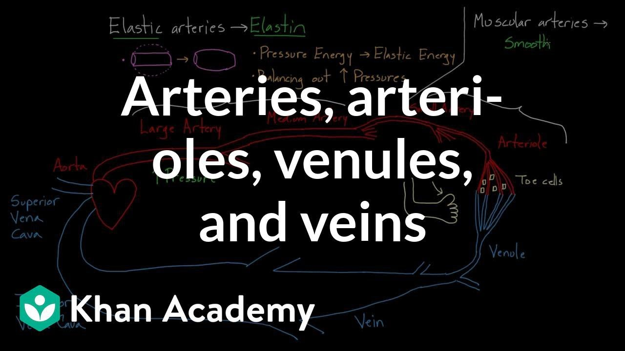 Arteries, arterioles, venules, and veins (video) | Khan Academy